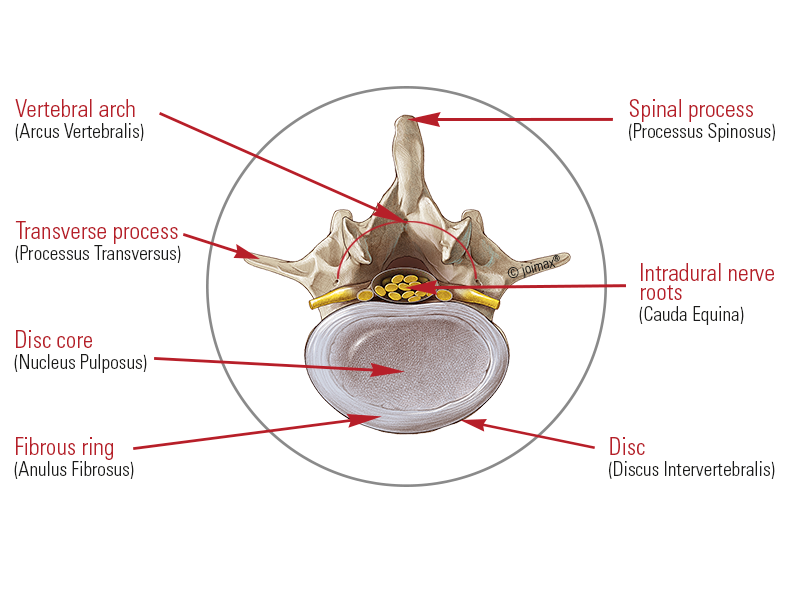 The spine | The Nucleus pulposus | The vertebral bodies | joimax INC